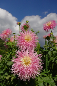 大空へ向かうピンクのダリアの写真素材 [FYI00200526]