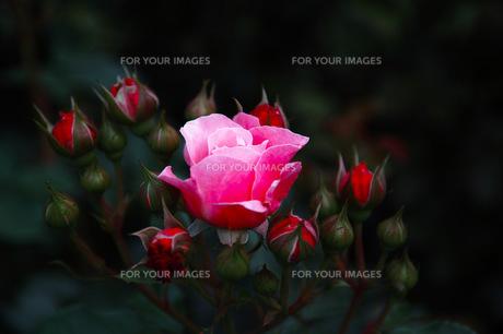 pink roseの写真素材 [FYI00200575]
