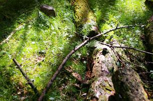 カラマツの倒木の写真素材 [FYI00200712]