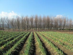 ネギ畑の写真素材 [FYI00200743]