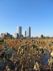 冬の不忍池の写真素材 [FYI00200773]