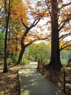 秋の石神井公園 池と木道の写真素材 [FYI00200817]