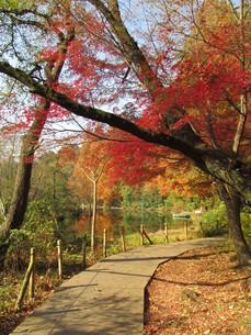 紅葉の石神井公園の写真素材 [FYI00200820]