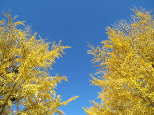 秋のイチョウと空の写真素材 [FYI00200822]