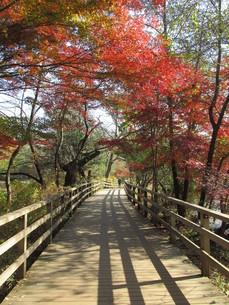 石神井公園 木道ともみじの写真素材 [FYI00200824]