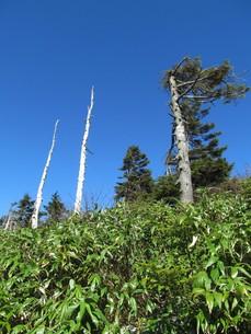 八幡平の枯れ木の写真素材 [FYI00201381]