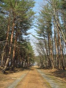 松林の道の素材 [FYI00201501]
