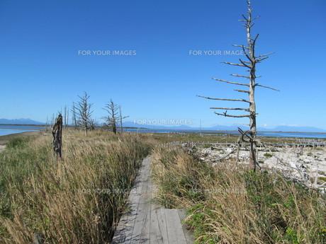 トドワラの遊歩道と枯れ木の素材 [FYI00201708]
