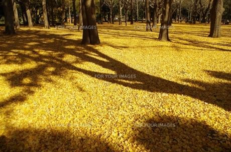 秋のイチョウの素材 [FYI00201993]
