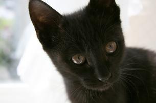 黒猫みつめるの写真素材 [FYI00202021]