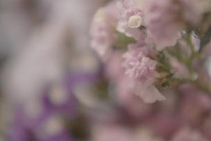 スターチス うすピンクの写真素材 [FYI00202025]
