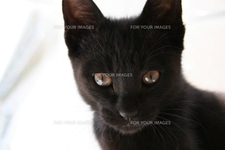 黒猫みつめる2の写真素材 [FYI00202030]