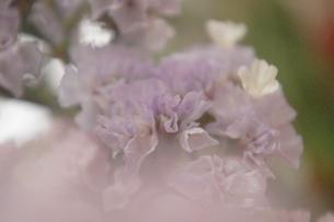 スターチス 薄紫の写真素材 [FYI00202037]