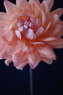 ダリア オレンジ 正面 上の写真素材 [FYI00202062]