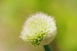 ねぎの花の写真素材 [FYI00202096]