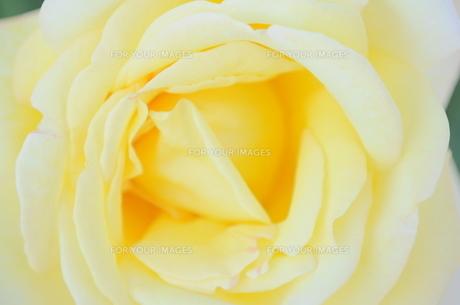 黄色のバラの写真素材 [FYI00202189]