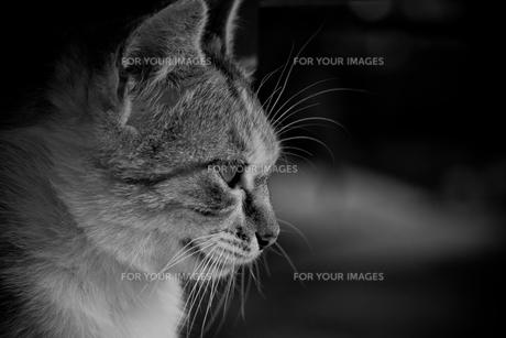 野良猫の横顔の素材 [FYI00202202]