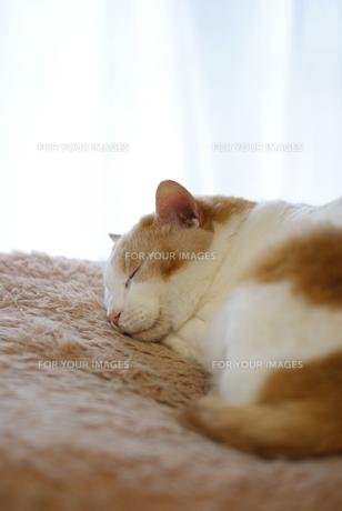 昼寝する猫の素材 [FYI00202232]