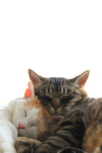 寄り添う猫の写真素材 [FYI00202234]
