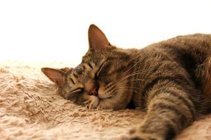 昼寝する猫#2の素材 [FYI00202249]