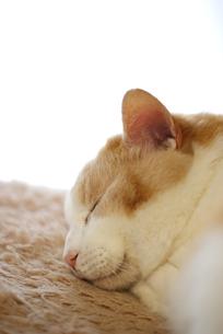 昼寝する猫の素材 [FYI00202251]