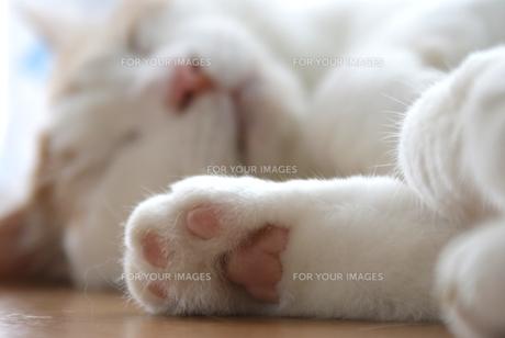 昼寝する猫の写真素材 [FYI00202267]
