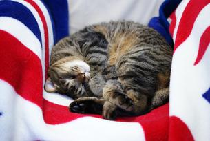 猫とイギリス国旗の素材 [FYI00202268]