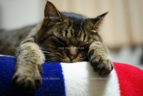 脱力する猫の素材 [FYI00202278]