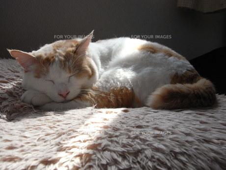 日だまりの猫の素材 [FYI00202286]