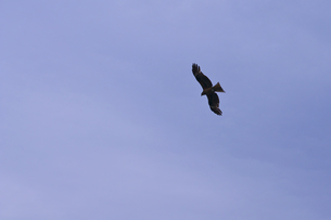 大空の鳥の写真素材 [FYI00202360]