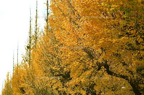 イチョウ並木の写真素材 [FYI00202367]