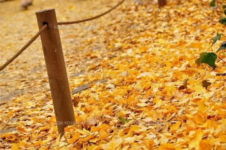 神宮外苑の落ち葉の写真素材 [FYI00202375]