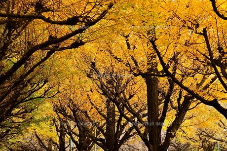 神宮外苑のイチョウ並木の写真素材 [FYI00202380]