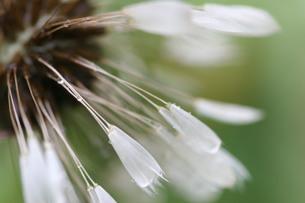 露に濡れるタンポポの綿毛の写真素材 [FYI00202383]