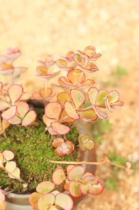 ミセバヤの葉とコケの写真素材 [FYI00202407]