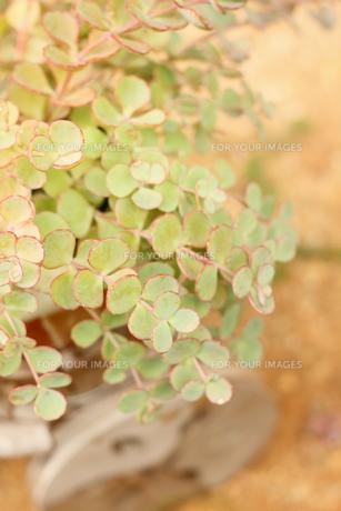 ミセバヤの葉の写真素材 [FYI00202416]