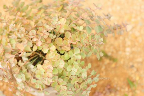 ミセバヤの葉の写真素材 [FYI00202417]