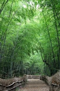竹林の写真素材 [FYI00202501]