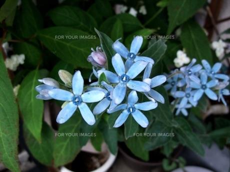 ブルースター(オキシペタルム)の花の写真素材 [FYI00202728]