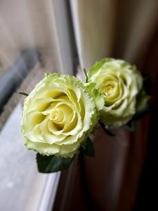 淡いグリーンとクリームホワイトのフレンチローズ 4の写真素材 [FYI00202741]