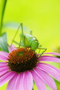 昆虫 キリギリスの写真素材 [FYI00202874]