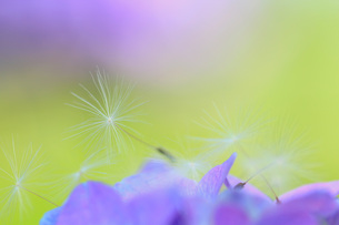 紫陽花とタンポポの素材 [FYI00203022]