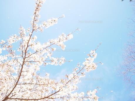 桜舞うの素材 [FYI00203100]