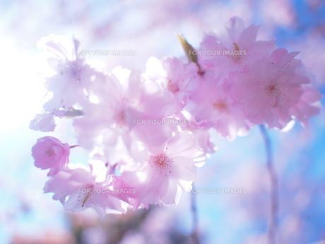 春のロマンチックの素材 [FYI00203106]