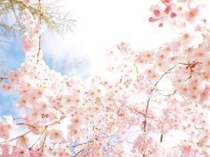 桜の素材 [FYI00203119]