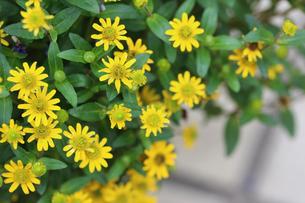 黄色の花の写真素材 [FYI00203275]