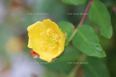 黄色の花の写真素材 [FYI00203276]