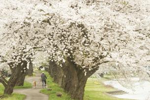桜のトンネルの散歩道の写真素材 [FYI00203287]