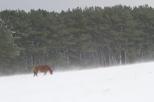 雪原に佇む寒立馬の写真素材 [FYI00203340]
