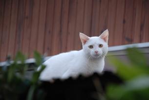 白いネコの写真素材 [FYI00203341]